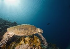 Free Hawksbill Turtle (eretmochelys Imbricata) Royalty Free Stock Photos - 6352838