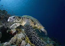 Free Hawksbill Turtle (eretmochelys Imbricata) Royalty Free Stock Image - 6352846