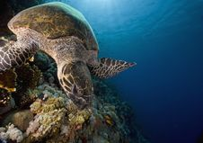 Free Hawksbill Turtle (eretmochelys Imbricata) Stock Photo - 6352860