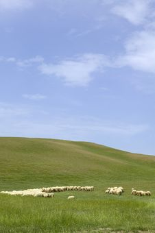 Tuscany Countryside, Sheeps Royalty Free Stock Photo