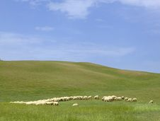 Free Tuscany Countryside, Sheeps Royalty Free Stock Photos - 6352948