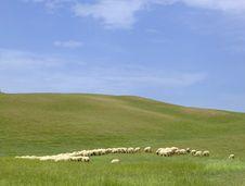Tuscany Countryside, Sheeps Royalty Free Stock Photos
