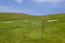 Tuscany Countryside, Sheeps Royalty Free Stock Image