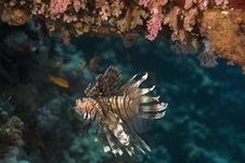 Free Common Lionfish (pterois Miles) Stock Photography - 6353072