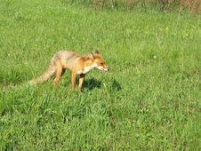 Free Red Fox In May In The Central Russia Stock Images - 6353964