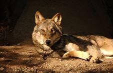 Free Wolf Royalty Free Stock Photo - 6354055