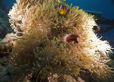 Free Red Sea Anemonefish (Amphipiron Bicinctus) Royalty Free Stock Photos - 6354288