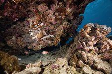 Free Common Lionfish (pterois Miles) Stock Image - 6354511