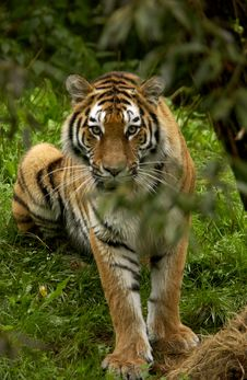 Free Tiger Stock Photography - 6354552