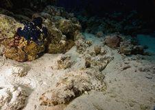 Free Indean Ocean Crocodilefish Stock Photos - 6354693