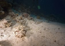 Free Indean Ocean Crocodilefish Stock Photography - 6354702