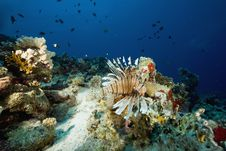 Free Common Lionfish (pterois Miles) Royalty Free Stock Images - 6354729