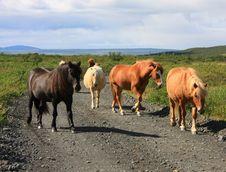 Free Icelandic Horses Royalty Free Stock Image - 6354756