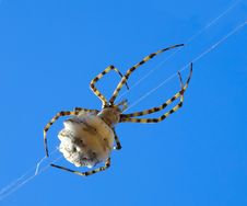Free Spider Royalty Free Stock Image - 6354866