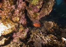 Free Coral And Fish Royalty Free Stock Images - 6355269