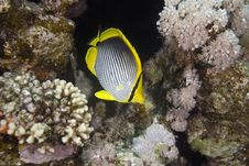 Free Blackbacked Butterflyfish (chaetodon Melannotus) Stock Images - 6355314