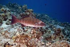 Free Red Sea Coralgrouper (plectropomus Pessuliferus) Stock Images - 6355354