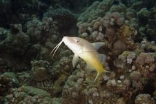 Free Yellowsaddle Goatfish (parupeneus Cyclostomus) Royalty Free Stock Photos - 6355428