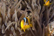 Free Red Sea Anemonefish (Amphipiron Bicinctus) Royalty Free Stock Photography - 6355457