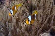 Free Red Sea Anemonefish (Amphipiron Bicinctus) Stock Photo - 6355460