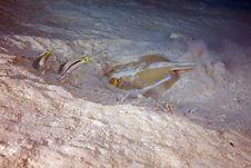 Goatfish And Bluespotted Stingray Stock Image