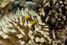 Free Red Sea Anemonefish (Amphipiron Bicinctus) Stock Photo - 6355580