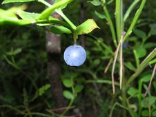 Free Bilberry Stock Photography - 6358582