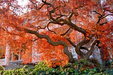 Free Old Maple Tree Royalty Free Stock Photography - 6359617