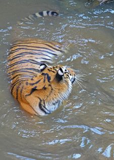 Free Swimming Tiger Stock Photos - 6359793