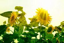 Free Sunflower Field Stock Photos - 6359963