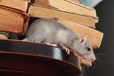 Free Rat  In Library Stock Photos - 6359993