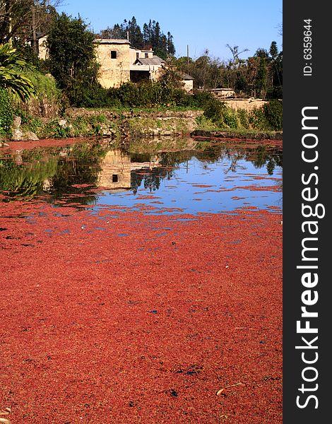 Red duckweed