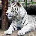 Free White Tiger 3 Stock Photos - 6365773
