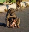 Free Baboon Royalty Free Stock Photos - 6368948