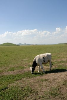Free Cow On The Glassland Royalty Free Stock Photography - 6360467