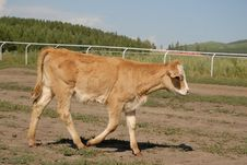Free Cow Walking Royalty Free Stock Images - 6360699