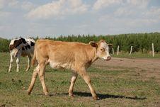 Free Cow Walking Royalty Free Stock Photo - 6360705