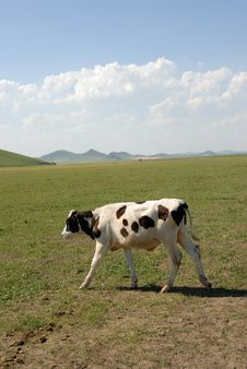 Free Cow On The Glassland Stock Image - 6360711