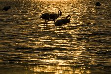Free Flamingo In Sunset... Royalty Free Stock Photo - 6361025