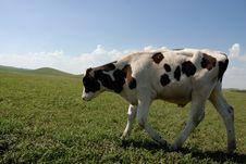 Free Cow On The Glassland Stock Photo - 6361720