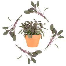 Sage Herb Stock Photography