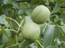 Free Walnuts Royalty Free Stock Image - 6363746