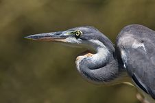 Free Grey Heron Closeup Royalty Free Stock Images - 6364439