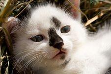Free Kitten Head Royalty Free Stock Photos - 6365308