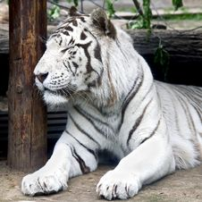 Free White Tiger 3 Stock Photos - 6365773