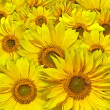 Free Beautiful Yellow Sunflowers Background Stock Images - 6365974