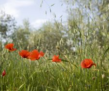 Tuscany Countryside, Close-up Of Poppy Flower Royalty Free Stock Photos