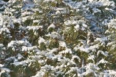 Winter Pine-tree Royalty Free Stock Photography