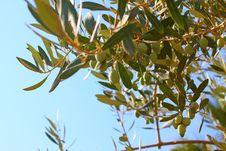 Free Greek Olives. Stock Images - 6367014
