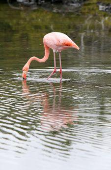 Free Wading Flamingo Royalty Free Stock Image - 6367346